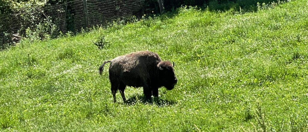 buffalo in a green grassy field