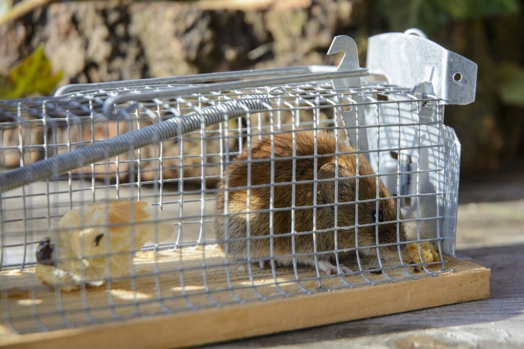 mouse in silver cage with cheese as bait