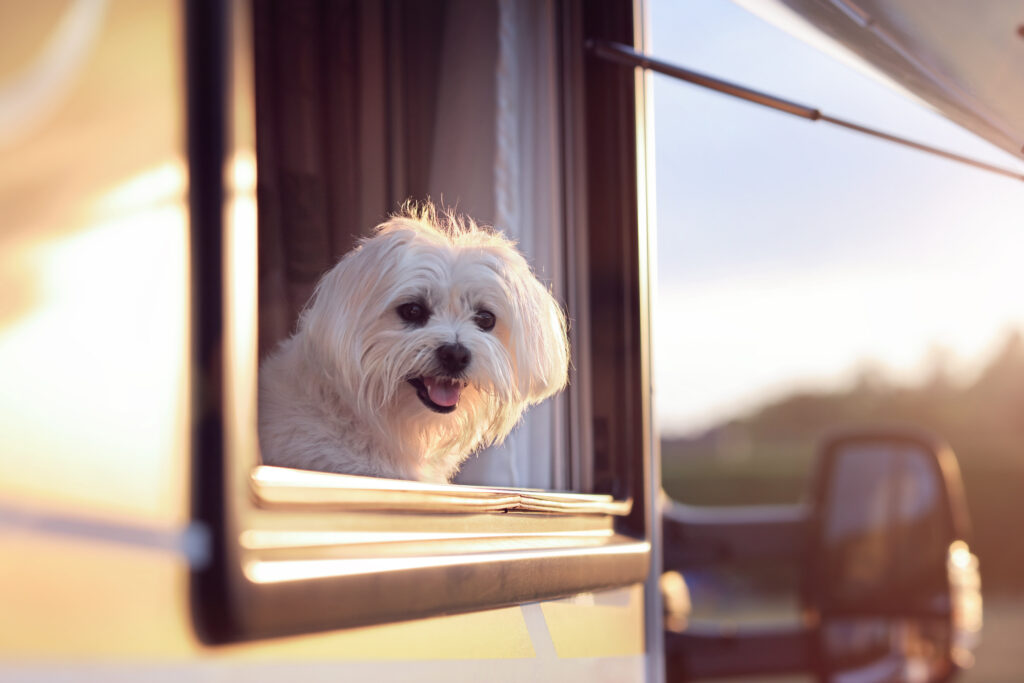 dog hanging out RV window - RV carpet tips for pet owners